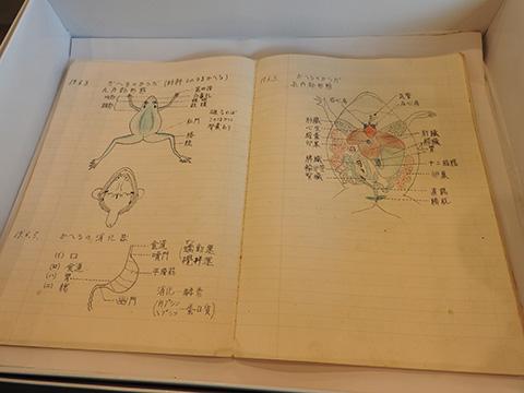 生物の授業ノート・蛙の解剖